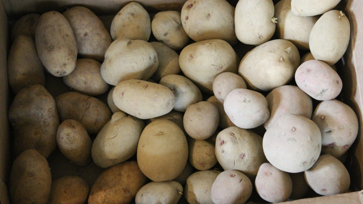 FEDCO Moose Tubers Potato Haul!